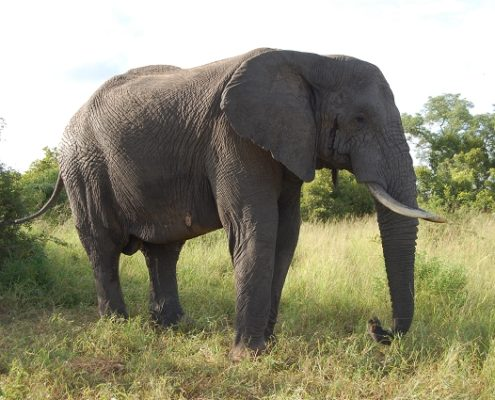 Idube Game Reserve Elefant